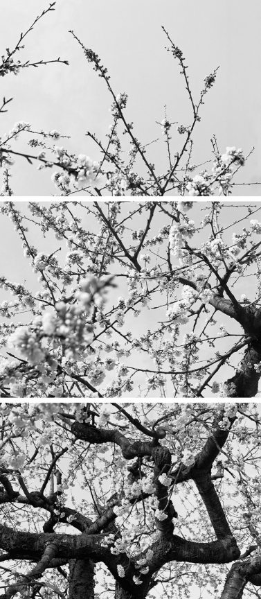 Apple Blossom, 2012 © Loredana Nemes