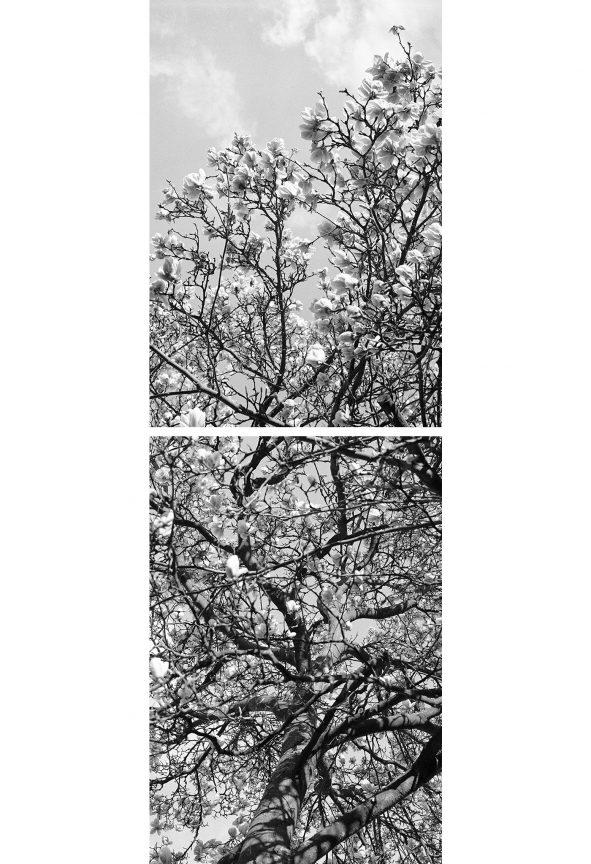 Magnolienblüten, 2012 © Loredana Nemes